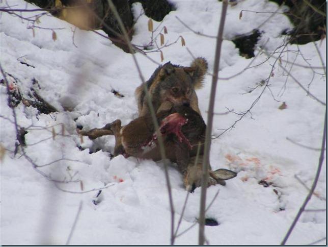 loup maurienne (1)