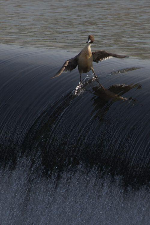 Oiseau surfeur