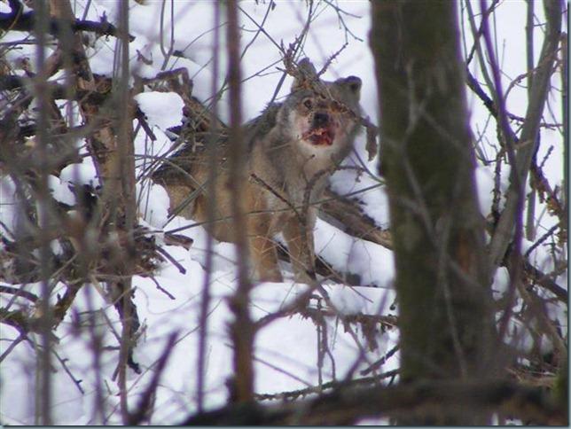 loup maurienne (3)